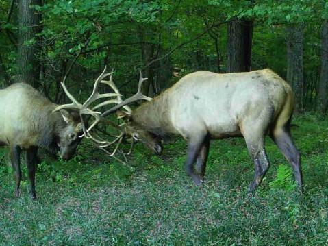 Two bull elk clashing antlers