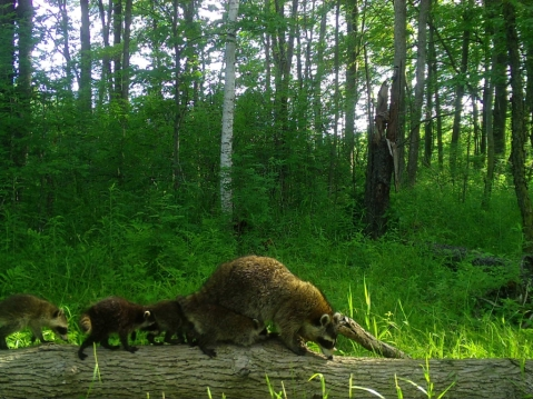 A raccoon mom and several young
